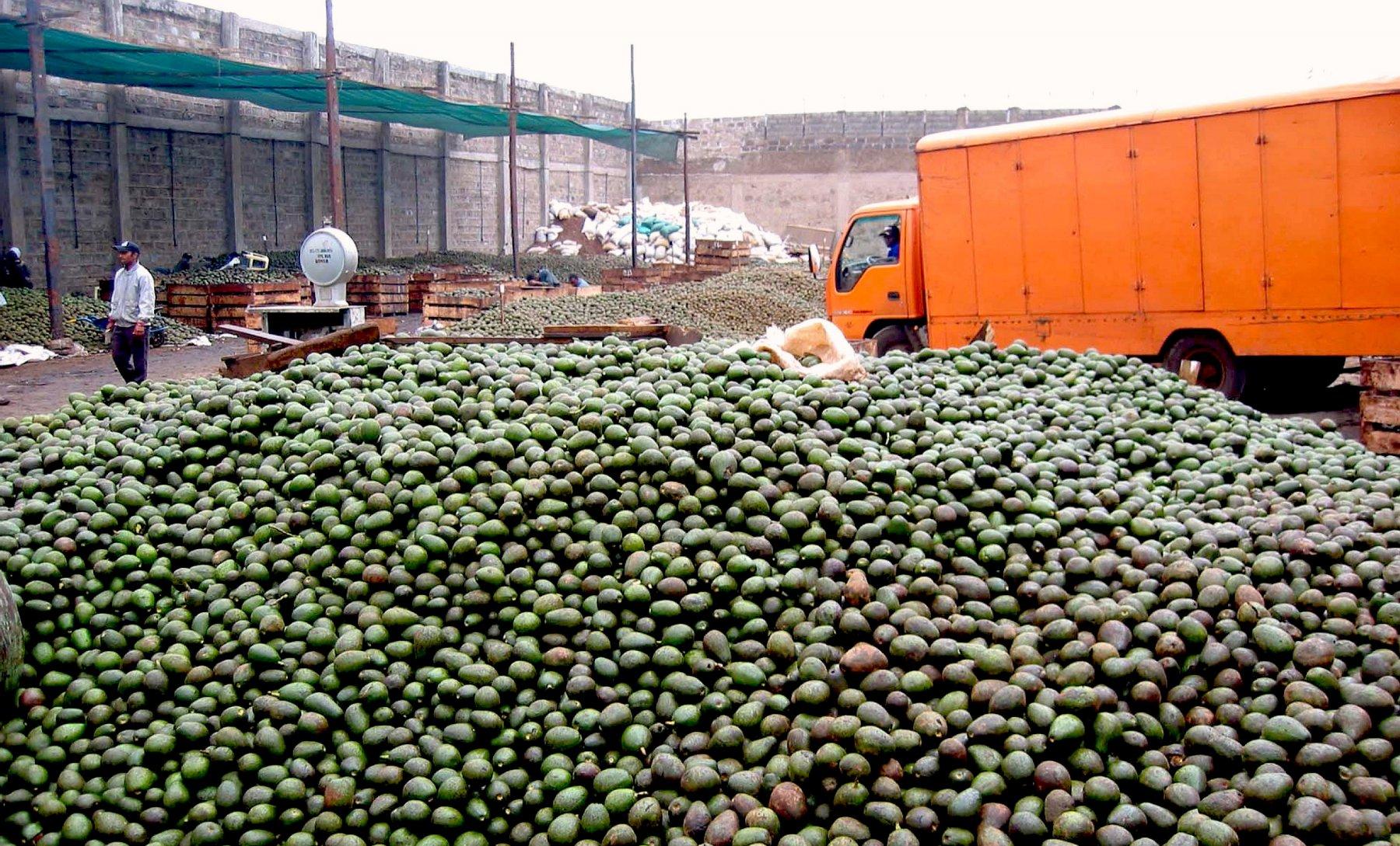 Avocado Anbau Südamerika